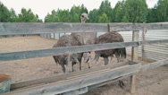 Group of ostriches eat from the trough on an ostrich farm Stock Footage