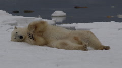 Polar bear rolls and slides on ice and snow of arctic coast Stock Footage