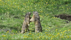 Alpine Marmot, marmota marmota, Adults playing or Fighting, France, Slow Motion Stock Footage