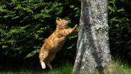 Red Tabby Domestic Cat jumping on Tree Trunk, Normandy, Slow Motion Stock Footage