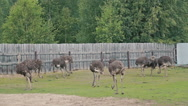 Group of ostriches on an ostrich farm Stock Footage
