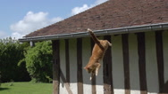Red Tabby Domestic Cat leaping from Roof, Normandy, Slow Motion Stock Footage