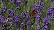 Small Tortoiseshell Butterfly, aglais urticae, Sucking Nectar from Laverder Stock Footage