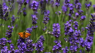 Gatekeeper Butterfly, pyronia tithonus, Sucking Nectar from Laverder Flowers, Stock Footage