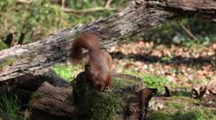 Red Squirrel, sciurus vulgaris, Adult Finding Hazelnut in Tree Stump and Walking Arkistovideo