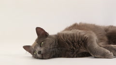 Chartreux Domestic Cat, Adult Laying against White Background, Looking around, Stock Footage