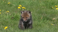 Red Fox, vulpes vulpes, Pup Sitting in Meadow with Yellow Flowers Stock Footage
