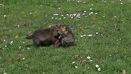 Red Fox, vulpes vulpes, Pups playing on Grass, Normandy in France, Real Time Stock Footage