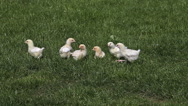 Chicks standing on Grass, Domestic Chicken, Normandy in France, Real Time Stock Footage