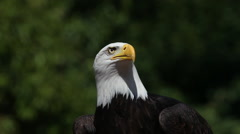 Bald Eagle, haliaeetus leucocephalus, Portrait of Adult looking around, Real Stock Footage