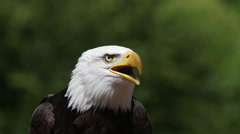 Bald Eagle, haliaeetus leucocephalus, Portrait of Adult Calling, looking around, Stock Footage