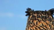 European Eagle Owl, asio otus, Portrait of Adult Looking around, Real Time Stock Footage