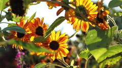 Beautiful sunflowers late summer afternoon Stock Footage