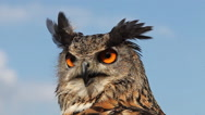 European Eagle Owl, asio otus, Portrait of Adult Looking around, Real Time Stock Footage