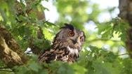 European Eagle Owl, asio otus, Adult standing on Tree, Looking around, Normandy Stock Footage