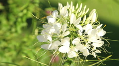 Spider flower (Cleome hassleriana) Helen Campbell (white petals)  Stock Footage