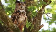 European Eagle Owl, asio otus, Adult standing on Tree, Looking around Stock Footage