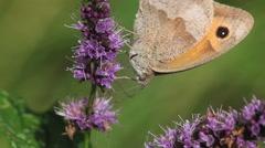 Gatekeeper Butterfly, pyronia tithonus, Adult Feeding on Buddleja or Summer Stock Footage