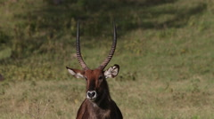 Defassa Waterbuck, kobus ellipsiprymnus defassa, Portrait of Male looking Stock Footage