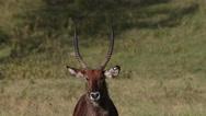 Defassa Waterbuck, kobus ellipsiprymnus defassa, Portrait of Male looking Stock Footage