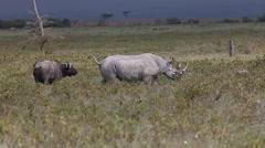 Black Rhinoceros, diceros bicornis, Adult disturbing Buffalos, Nakuru Park  Stock Footage