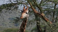 Rothschild's Giraffe, giraffa camelopardalis rothschildi, Adult Eating Acacia's Stock Footage