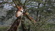 Rothschild's Giraffe, giraffa camelopardalis rothschildi, Adult Eating Acacia's Stock Footage