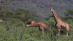 Rothschild's Giraffe, giraffa camelopardalis rothschildi, Herd eating Bush Stock Footage