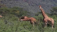 Rothschild's Giraffe, giraffa camelopardalis rothschildi, Herd eating Bush Stock Footage