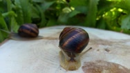 Big snail crawling forward Stock Footage