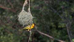 Speke's Weaver, ploceus spekei, Male near its Nest, Bogoria Park in Kenya Stock Footage