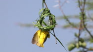 Village Weaver, ploceus cucullatus, Male and Female standing on Nest, Bogoria Stock Footage