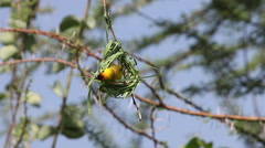 Village Weaver, ploceus cucullatus, Male working on Nest, Bogoria Park in Kenya Stock Footage