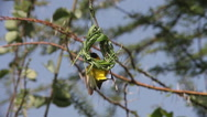 Speke's Weaver, ploceus spekei, Male working on Nest, Bogoria Park in Kenya Stock Footage