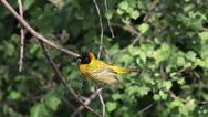 Speke's Weaver, ploceus spekei, Male standing on Branch against Wind, Bogoria Stock Footage