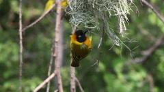 Speke's Weaver, ploceus spekei, Male standing on Nest, Bogoria Park in Kenya Stock Footage