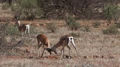 Grant's Gazelle, gazella granti, Males fighting, Nakuru Park in Kenya, Real Time Stock Footage