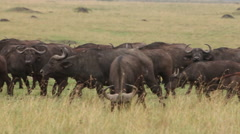 African Buffalo, syncerus caffer, Herd walking through Savanna, Nakuru Park  Stock Footage