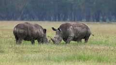 White Rhinoceros, ceratotherium simum, Youngs fighting, Nakuru Park in Kenya Stock Footage