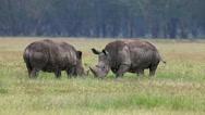 White Rhinoceros, ceratotherium simum, Youngs fighting, Nakuru Park in Kenya Stock Footage