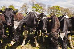 Cattle grazing at field on sunny day Stock Photos