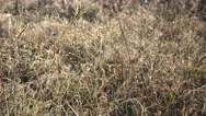Grass bent covered first frost early autumn time in field. 4K Stock Footage