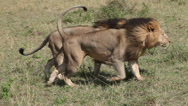 African Lion, panthera leo, Males walking through Savanna, Masai Mara Park  Stock Footage