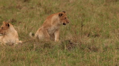African Lion, panthera leo, Group standing near Bush, Cub playing with Male, Stock Footage