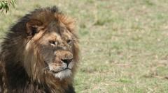 African Lion, panthera leo, Male licking its Nose, Masai Mara Park in Kenya, Stock Footage