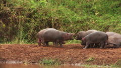 Hippopotamus, hippopotamus amphibius, Adults sleeping and Youngs playing, Masai Stock Footage