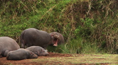 Hippopotamus, hippopotamus amphibius, Youngs sleeping and Adults Stock Footage