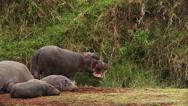 Hippopotamus, hippopotamus amphibius, Youngs sleeping and Adults Stock Footage