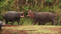 Hippopotamus, hippopotamus amphibius, Adults with Open Mouth, Masai Mara Park  Stock Footage
