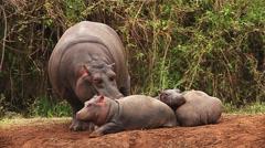 Hippopotamus, hippopotamus amphibius, Adult Licking Young, Masai Mara Park  Stock Footage